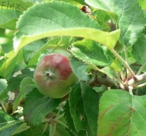 Eves apple before the Fall